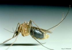 zanzara culex pipiens