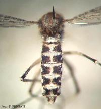 Ochlerotatus caspius-2