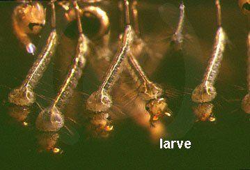 Ciclo biologico informambiente for Larve zanzare