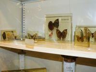 muratori farfalle