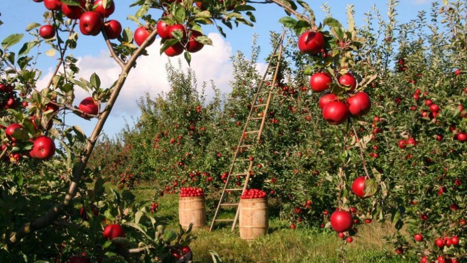 coltivazioni di mele