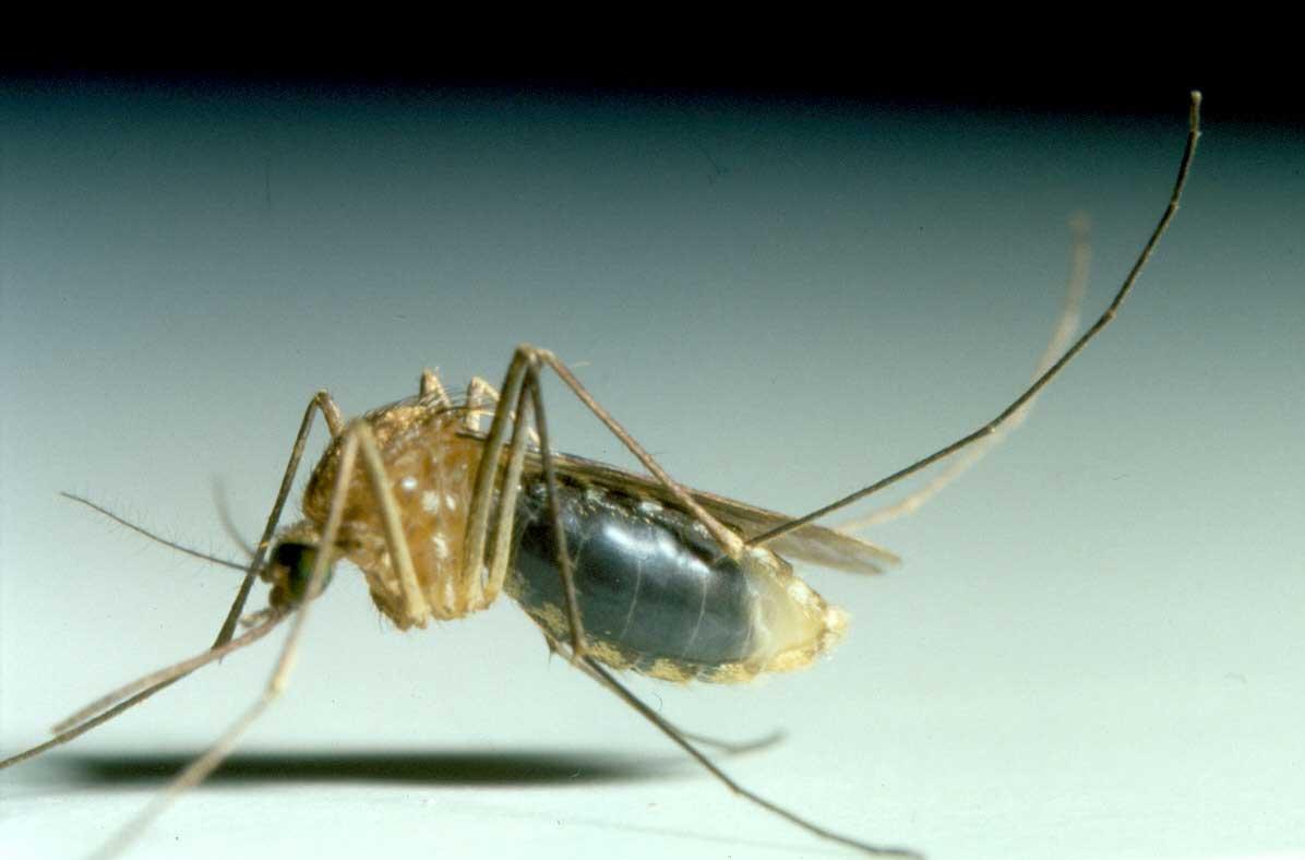 picadura de mosquito en el pene