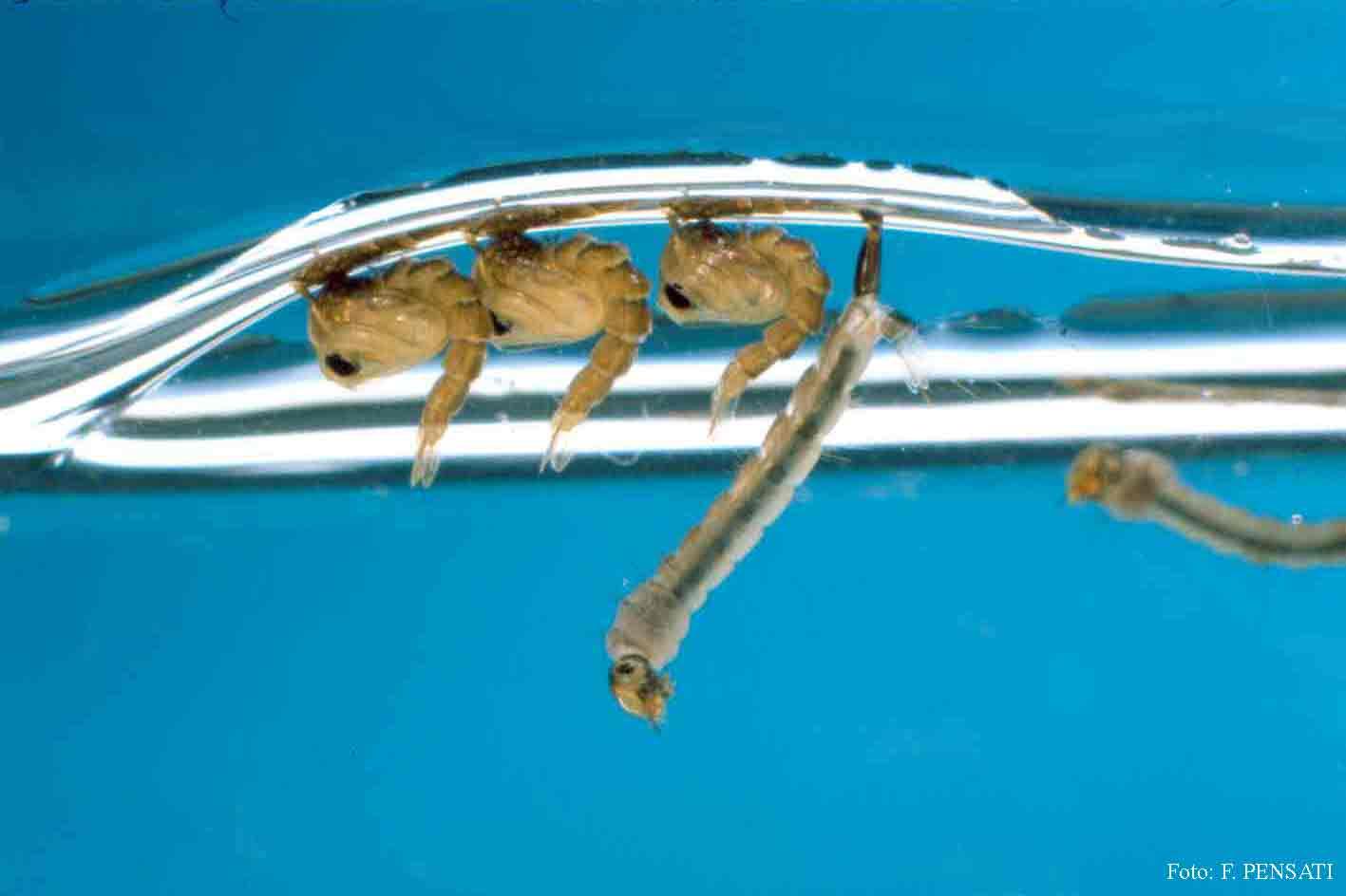 Servizio telematico pubblico ufficio stampa comunicati for Divora larve di zanzara